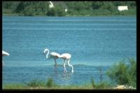 Flamingos, Les Stes Maries de la Mer, 2002