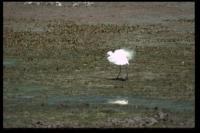 Seidenreiher, La Capeliere, 2002