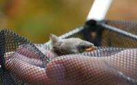 Klappergrasmücke juv P1010485