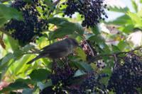 Mönchsgrasmücke w P1020429