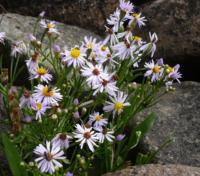Wildblumen, Sturkö, Blekinge, Schweden