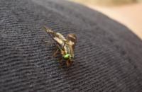 Fliege, Schweden