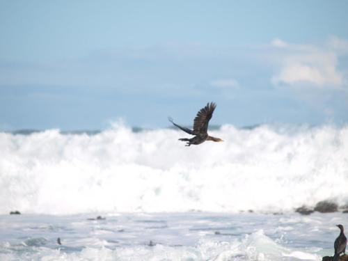 P8070585 Cormorant (1)