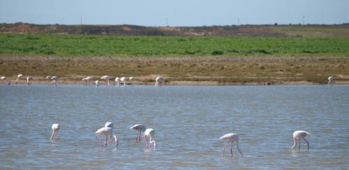 P8080718 Flamingos