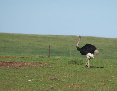 P8080727 Ostrich