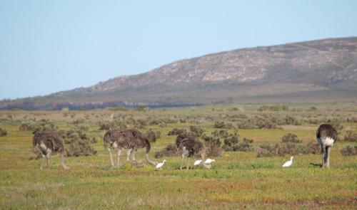 P8080729 Ostriches