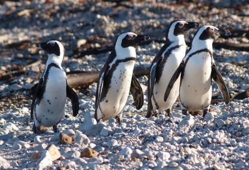 P8090938 Pinguine MachtDochWasIhrWollt (1)
