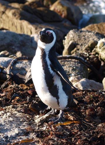 P8091000 Penguin