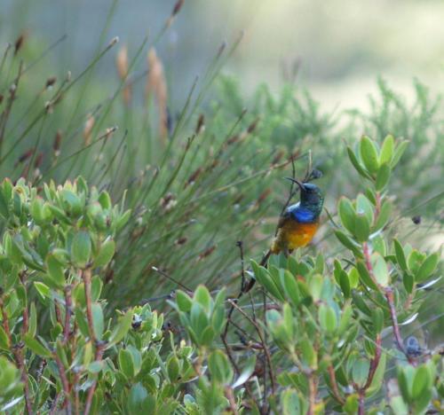 P8101084 Sunbird