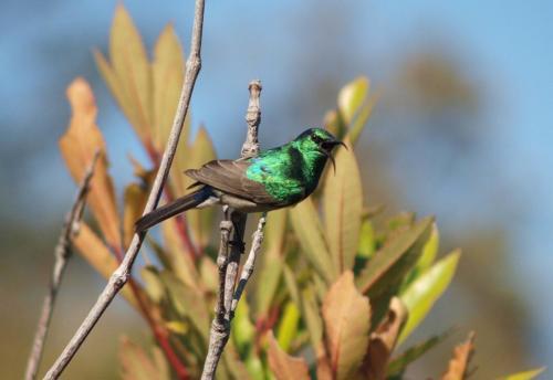 P8101129 Sunbird
