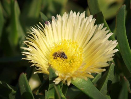 P8111333 Bee
