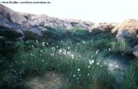 Wollgras auf Schären bei Lysekil, Bohuslän, Schweden
